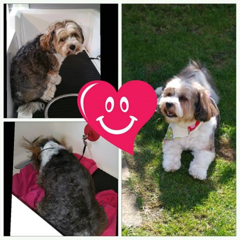 Photo college of a before and after dog grooming with love heart decoration